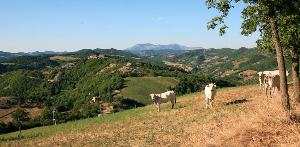 mucche 2